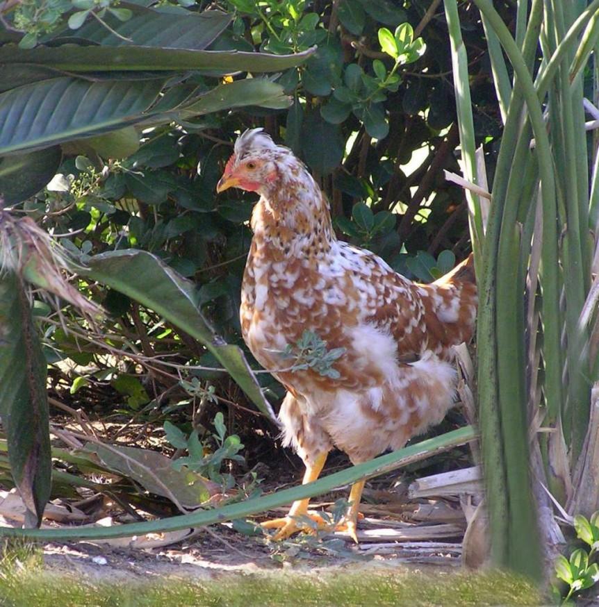 organic hen