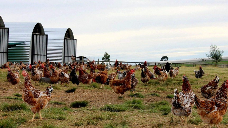 Boschveld laying hens are indigenous to South Africa