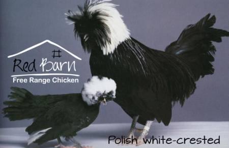 Rare bantam chickens