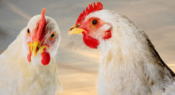 chicken prices to soar